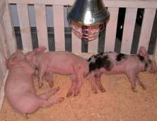 Свиноводство для всех: Как построить свинарник. Рекомендации и госты.
