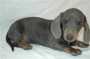 Short Hair Miniature Dachshund Puppies For Sale Dachshund