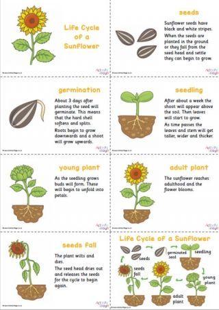 Solros Livscykel Bildspel Solros Livscykel Bildspel Source By Yorkiemom33 In 2020 Sunflower Life Cycle Growing Sunflowers From Seed Growing Sunflowers