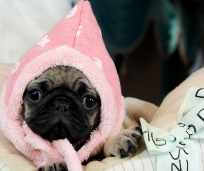 Pug Puppies For Sale New Financing Available We Ship Very