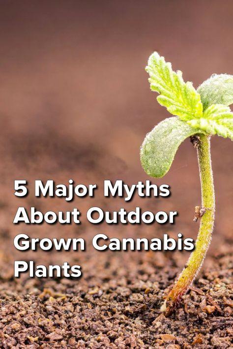 5 Major Myths About Outdoor Grown Cannabis Plants