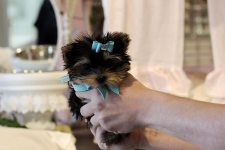 Yorkies At Www Puppyboutiquestore Com Find Cute Yorkies For Sale At Our Store 954 353 7864 Teacup Puppies Cute Teacup Puppies Puppies For Sale
