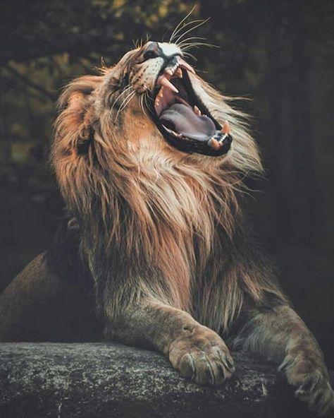 "Lions 🦁 on Instagram: ""Roar 👑 🐾 🐾 🐾 🐾 🐾 🐾 🐾 #lion #lions #lioness #lionking #safari #bigcats #bigcat #africanamazing #kingofthejungle #wildlifphotoghraphy…"""