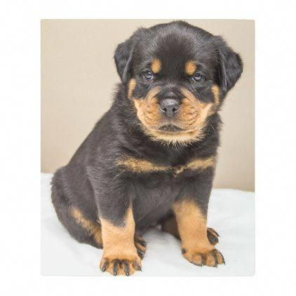 Basic Obedience Training For Puppies Dogtrainingrevolution In 2020 Rottweiler Puppies Dog Training Puppy Portraits