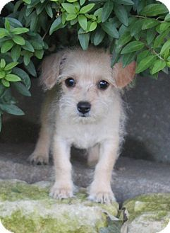 Maltese Terrier Unknown Type Small Mix Puppy For Adoption In