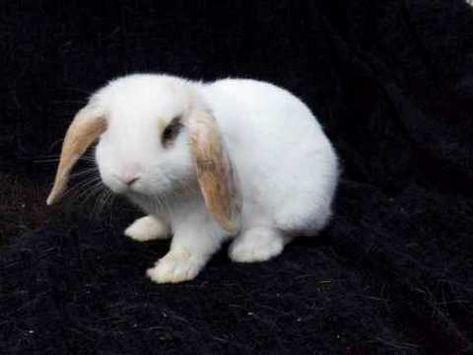 Smoke Pearl Rabbit Breed Information And Pictures Petguide Com Rabbit Breeds Pet Rabbit Care Pet Rabbit