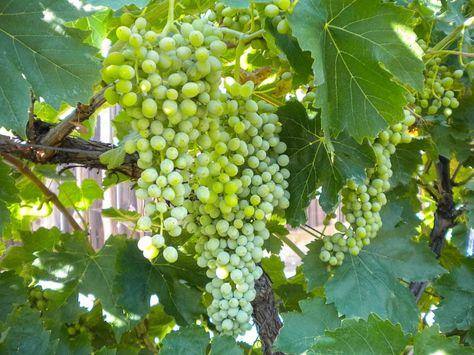 Table Grape Vine