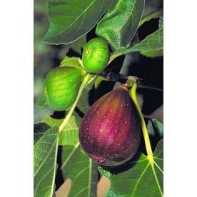 Monrovia 3.58-Gallon Brown Turkey Fig Fruit Tree In Pot (With Soil)
