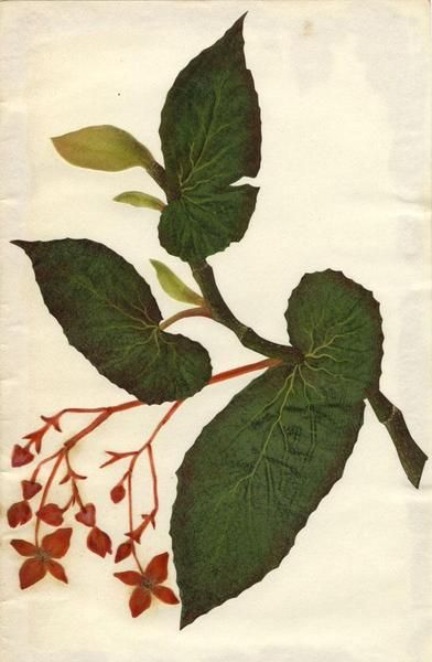 Image Result For Angel Wing Begonia Botanical Drawing With Images