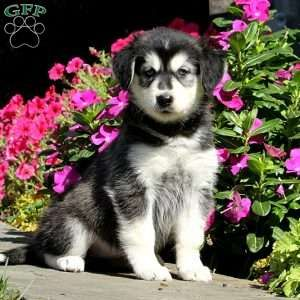 Goberian Puppies For Sale Goberian Dog Breed Info Dog Breed Info Puppies Puppies For Sale