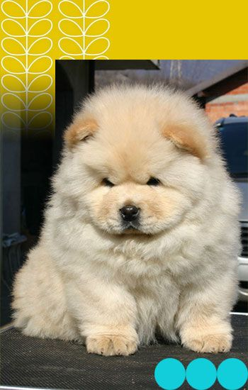 Chow Chow Dog Breed The Chow Chow Is A Dog Breed Originally From