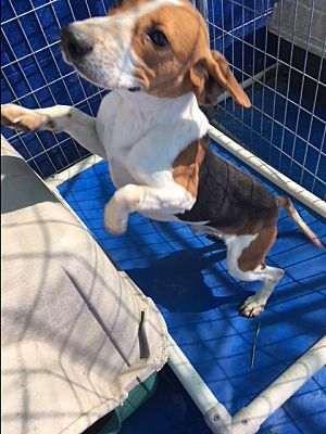 New Kent Va Beagle Meet Dexter A Dog For Adoption Calm Dogs Beagle Dog Friends