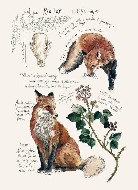 Le renard roux étude naturelle impression 5 x 7 po.   Etsy