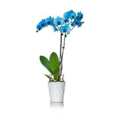 Indoor Plants Garden Plants Flowers The Home Depot Blue Orchids Plant Orchid Plants Indoor Plants
