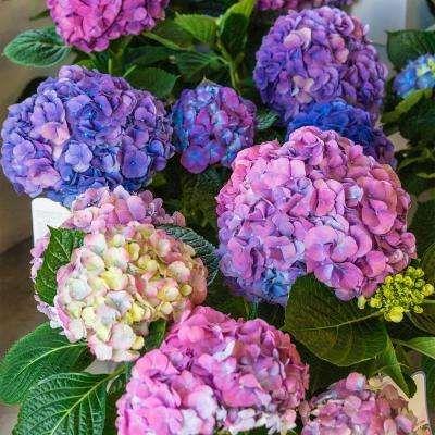 Shrubs Bushes Plants Garden Flowers The Home Depot Spring Hill Nursery Hydrangea Colors Big Leaf Hydrangea