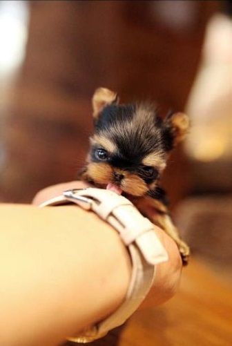 c3f2be4dde9 Top 5 Sweetest Teacup puppies … | Teacup Dog Breeds | Cute …
