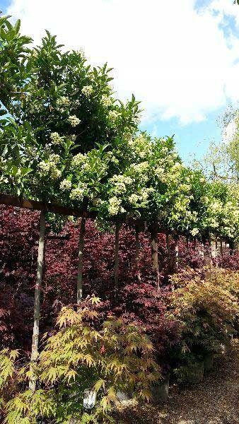 Viburnum Tinus Lucidum Full Standard Tree Tree Uk Garden Shrubs