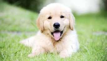 Cost Of A Golden Retriever Puppy Goldenretrieverpuppies