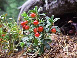 preiselbeeren pflanzen