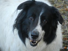 Adopt Buddy On Great Pyrenees Dogs Animal Rescue