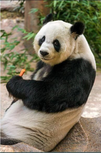 Pin By Anna Kurscheid On Pandas Panda Bear Panda Baby Panda Bears