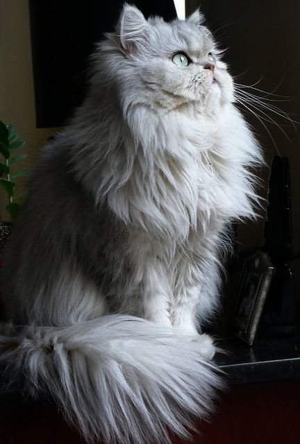 Magnificent Beautiful Cats For Sale Cats Beautiful Cats Kittens