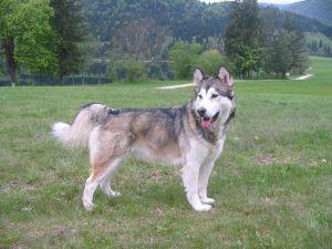 Alaskan Malamute Breed Information The Dog Word Dog Breeds Alaskan Malamute Alaska Dog