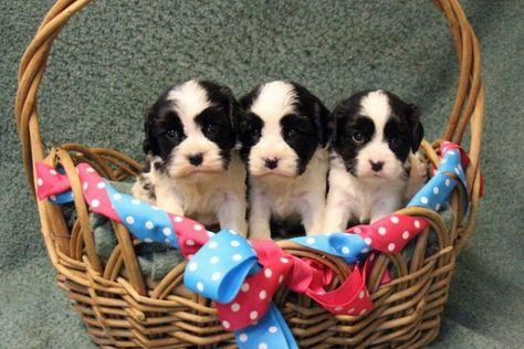Cavachon Cavanese Puppy Breeder Northern Va Gleneden Cavachons In 2020 King Charles Cavalier Spaniel Puppy Cavachon Dog Crossbreeds