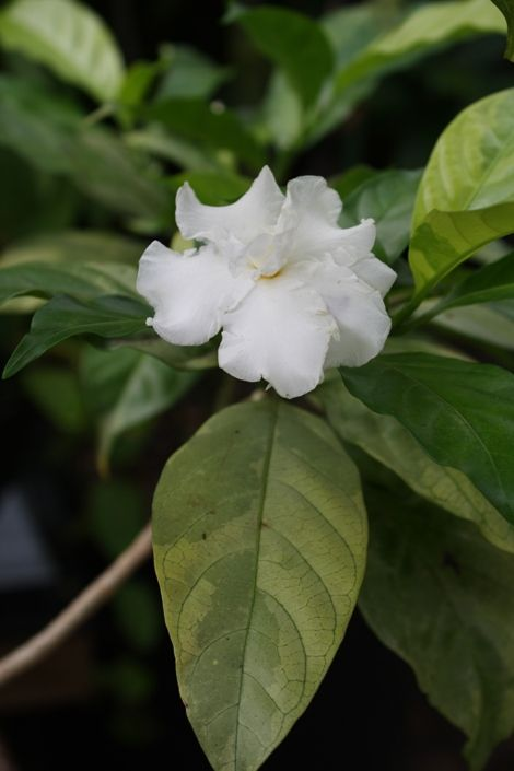 Variegated India Carnation Crape Jasmine Crape Gardenia Fleur D