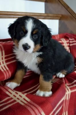 Pin By Jack Santos On Dogs With Images Bernese Mountain Dog Puppy Puppies Mountain Dogs