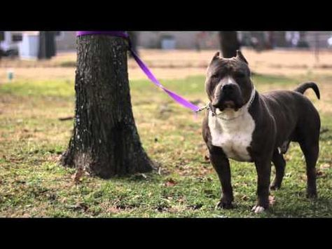 Homie The The American Bully Doing His Best Impression Of A Bull