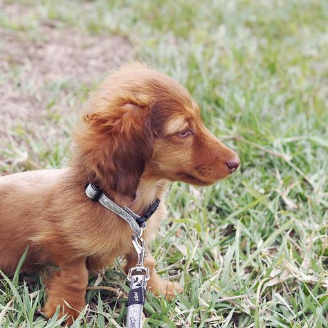 Hi I M Ruby I M A Miniature Longhaired Dachshund Check Out My