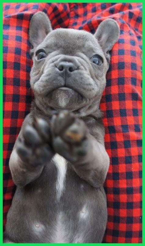 Sweet blue french bulldog puppy, Felipe. #frenchie #buldog #frenchiepuppy | Blue French Bulld...