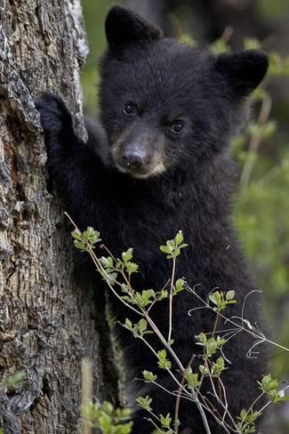 Photographic Print: Black Bear (Ursus Americanus) Cub of the Year or Spring Cub, Yellowstone National Park, Wyoming by James Hager : 24x16in