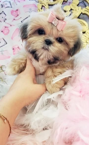 Shih Tzu Puppies Teacup Shih Tzu Shih Tzu For Sale Breeder