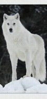 white wolf!