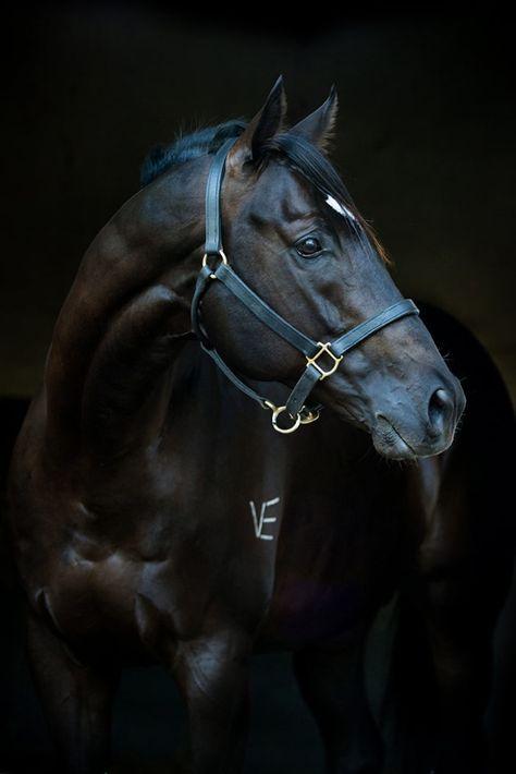 akingdomofhorses:  108/⚜ Gorgeous ThoroughbredsGimmethegreenlight, 2008 Thoroughbred Stallion