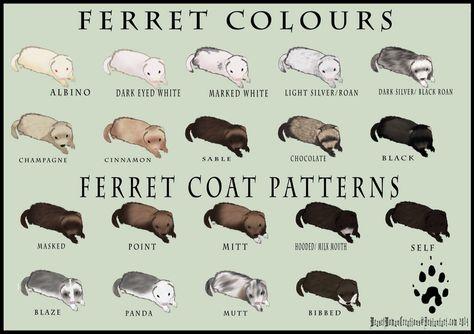 Ferret Anatomy Poster | Ferret items | Pinterest | Frettchen, Hunde ...