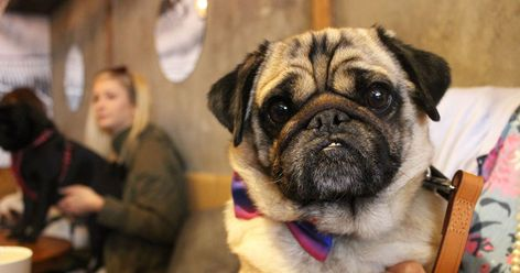 An Incredible Pop Up Pug Cafe Is Coming To Southend Next Month