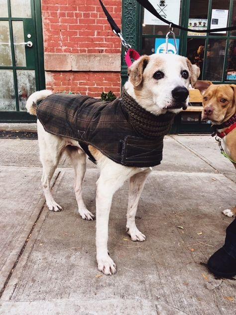 Adopt Truly Terrific Tito On Labrador Retriever Golden