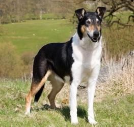 Smooth Collie Simply A Short Haired Collie Tri Color Handsome