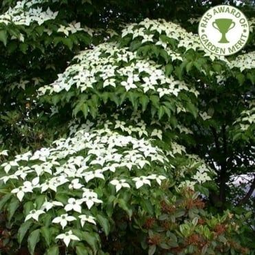 Cornus Kousa Var Chinensis Flowering Chinese Dogwood Trees Trees For Shade It Can Be Tricky To Find Trees That G Dogwood Trees Shade Trees Ornamental Trees