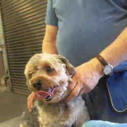Mesa Arizona Silky Terrier Meet A For Adoption Https Www