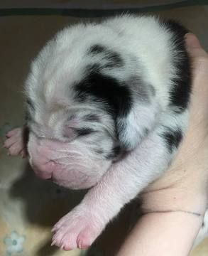 Litter Of 9 Great Dane Puppies For Sale In Houghton Lake Mi Adn
