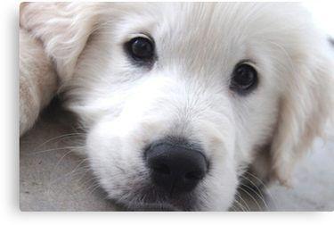 White Golden Retriever Puppy Canvas Print By Suzanne Crocker