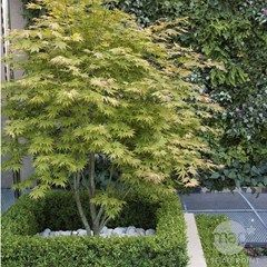 Erables Du Japon Acheter Des Arbustes Plantes Pour Le Jardin Jardinerie Truffaut Arbuste
