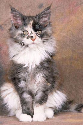 Les Plus Beaux Chats : beaux, chats, Épinglé, Miiaou