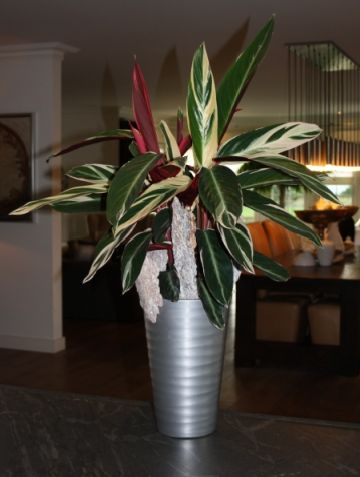 Decorate your home with a beautiful Calathea Inspiration - pflanzen für wohnzimmer