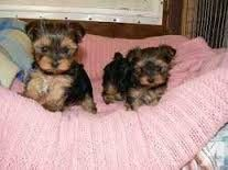 Registered Yorkshire Puppies For Re Homing For Sale In Columbus