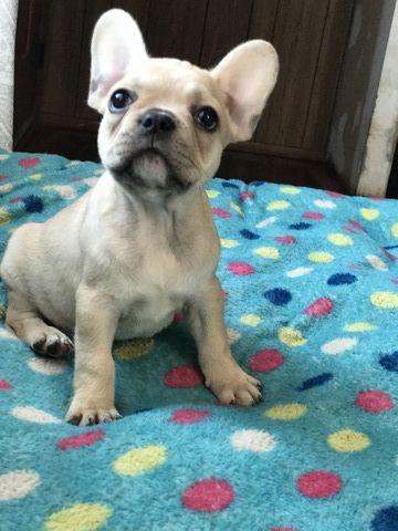French Bulldog Puppy For Sale In Boston Ma Adn 67651 On